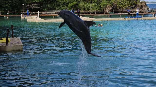 Dolphin Jamaica