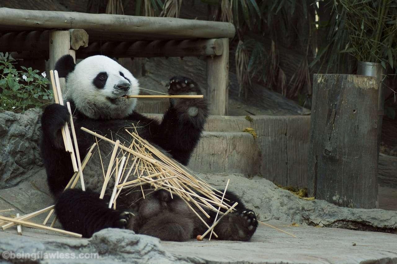 Panda Zoo,China