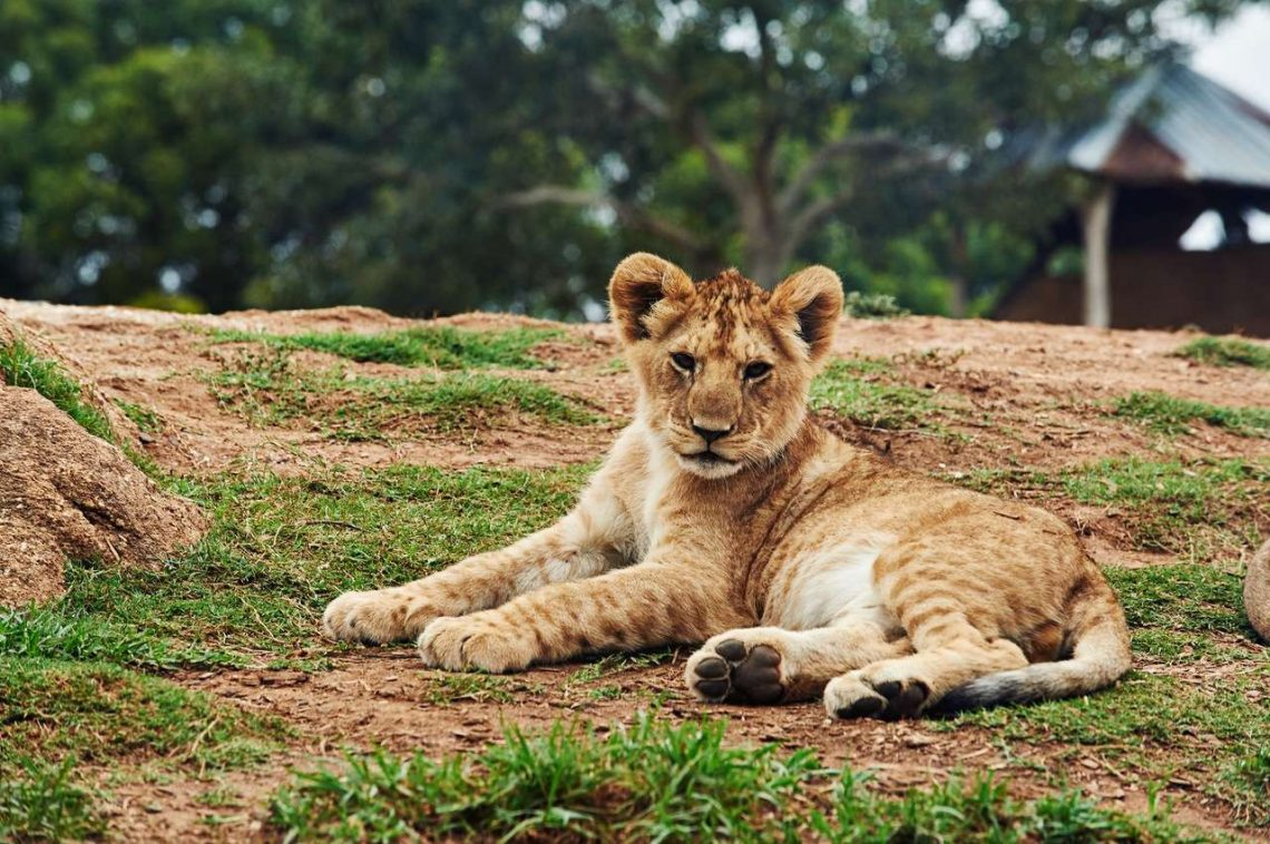 Lion Cub Lying on Ground-Wildlife Safari
