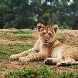 Lion Cub Lying on Ground-Wildlife Safari